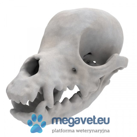 Yorkshire Terrier skull-jaw fixed