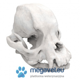Skull Pekingese-jaw fixed